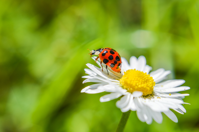 Beautiful ladybug perching at the edge of a white flower