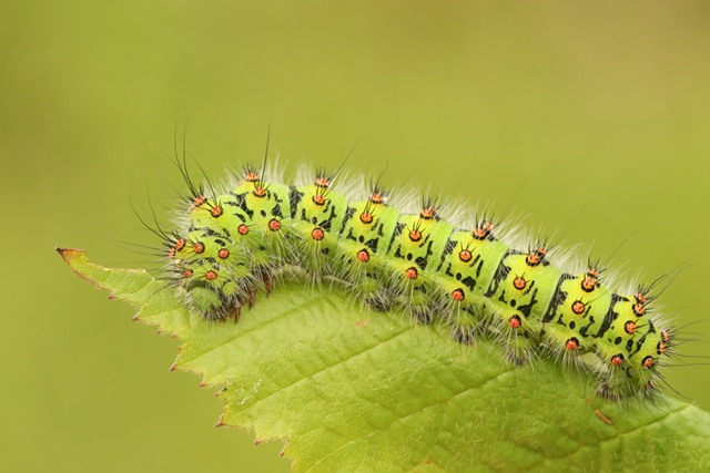 Young caterpillar crawling on a leaf while munching on the edges