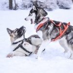6 Important Steps for the Training of Your Siberian Husky