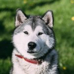 How To Groom Your Siberian Husky Properly