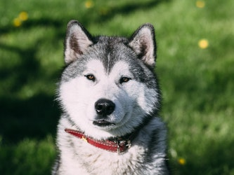 Siberian Husky Featured Image